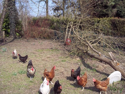 Keeping-chickens-in-France