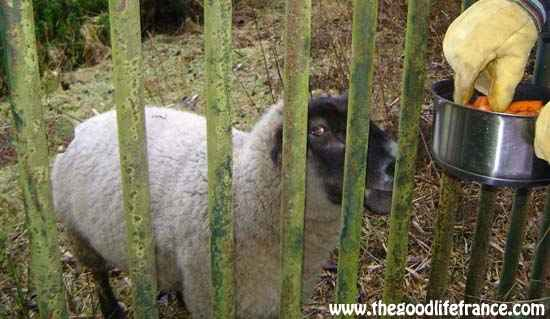 Goodbye Trumper | Oldest sheep in the world