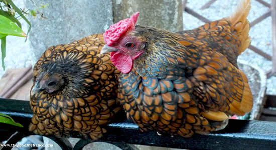 chicken beauty contest