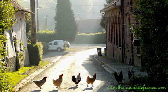 chickens in france