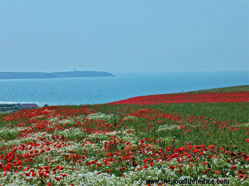 Poppies growing on the cliff tops of the Opal Coast, northern France