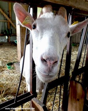 goats-milk-cheese-goat