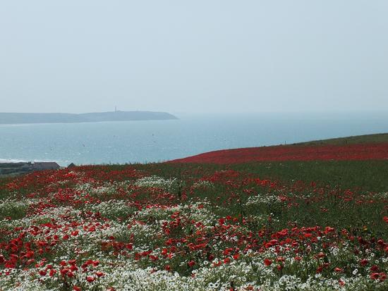 Opal-Coast-poppy-fields