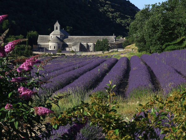 purple lavender in bloom with the Abbey de Senanque in the background, Provence