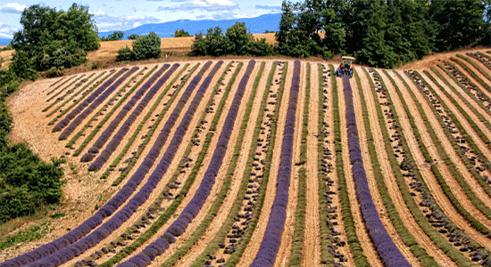 Where to see Lavender in Provence