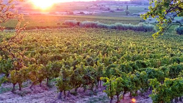 vineyards-saint-chinian-languedoc-roussillon