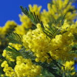 The magical Mimosa festivals of the south of France
