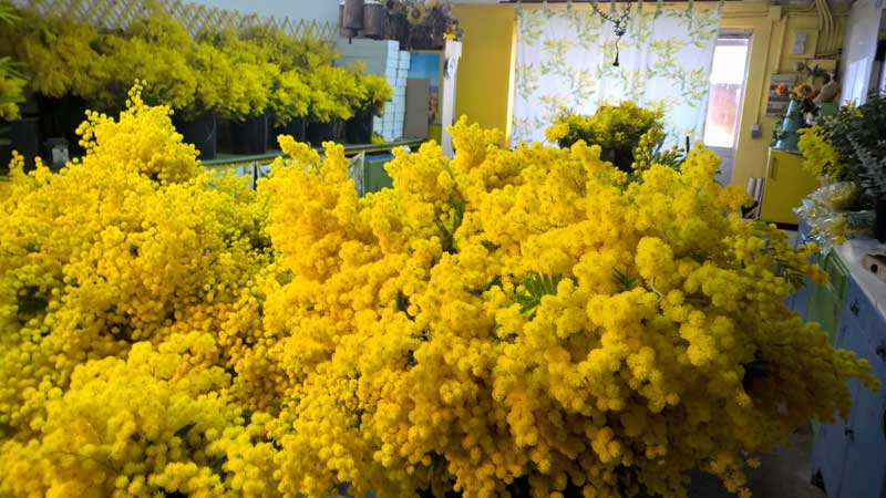 Huge bunches of cut mimosa flowers in a shop near Grasse, Provence