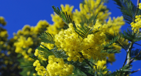 The magical mimosa festivals of the south of france the good life mimosa mightylinksfo