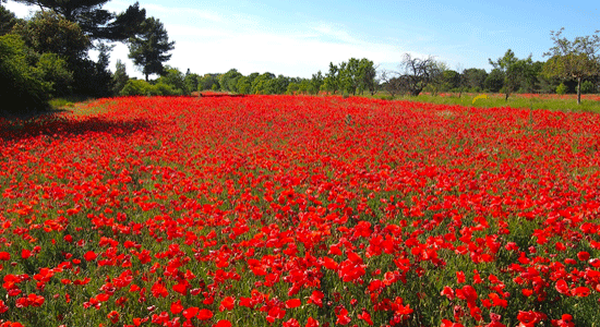 poppies-provence