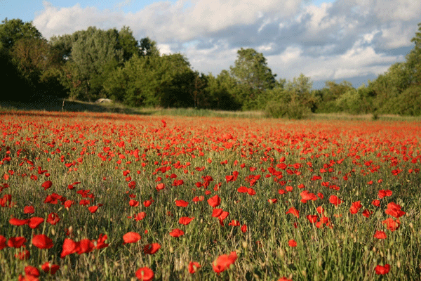 provence-poppies--picture-perfect
