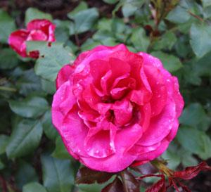 Mona LIsa rose