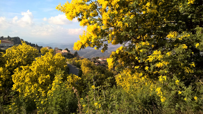 Yellow blossom of Mimosa trees in the hills of southern France