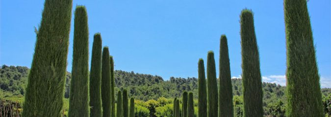 The history of Cypress Trees in Provence