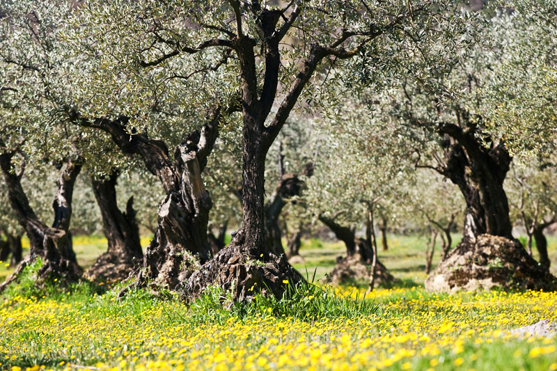 Olive trees in March in Provence