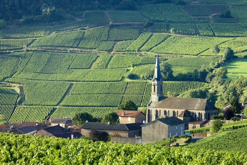 Rolling hills covered with leafy vines in Burgundy, France