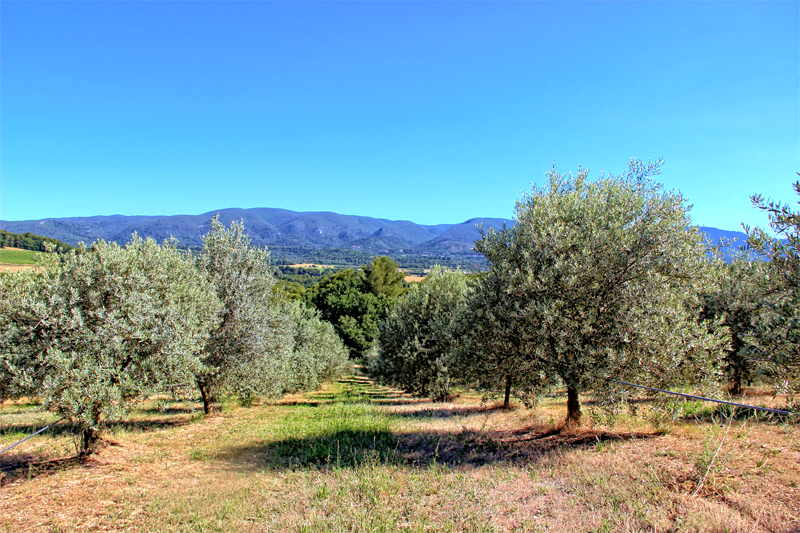 Olive trees in an orchard under a bright blue sky, mountains in the background