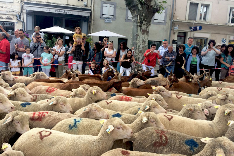 Hundreds of sheep walk through a town centre in Provence on their way to cool mountain pastures in the summer