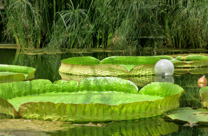 Giant water lily leaves float serenely on a pond surrounded by green bamboo