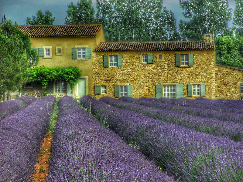 Small stone house with green shutters in a field of lavender in Provence