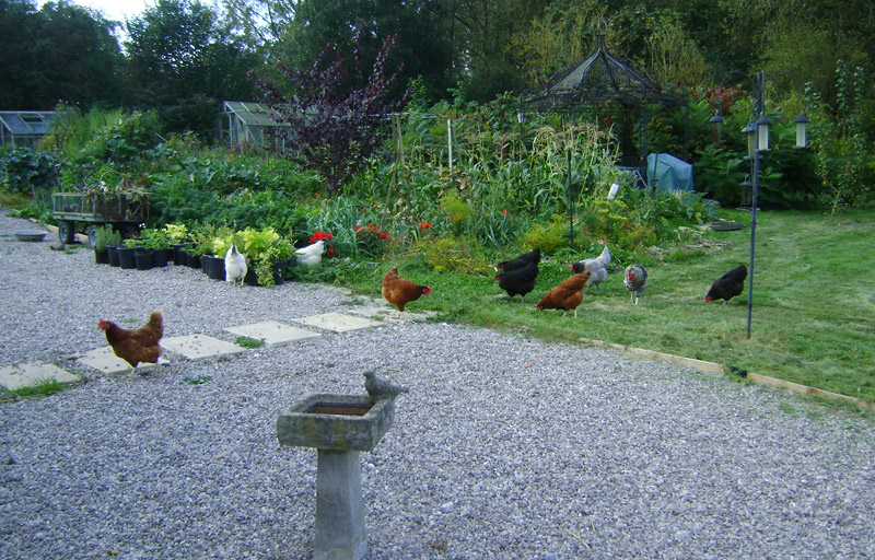 Chcickens in a garden, eating the vegetables and running about having fun