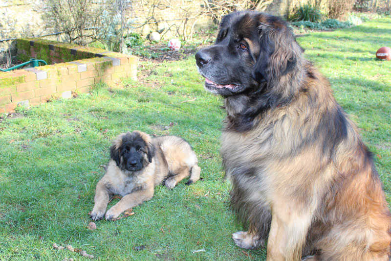 Large Leonberger dog and puppy Leonberger dog in garden