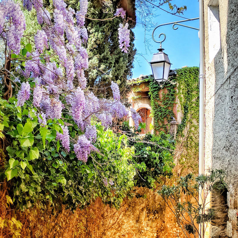 Wisteria in full bloom drapes down an ancient mellow yellow stone wall in Provence contrasting with a blue dky
