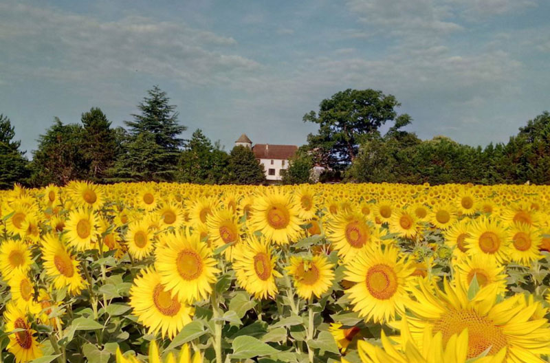 Field full of bright yellow sunflowers with a chateau in the background in Dordogne France