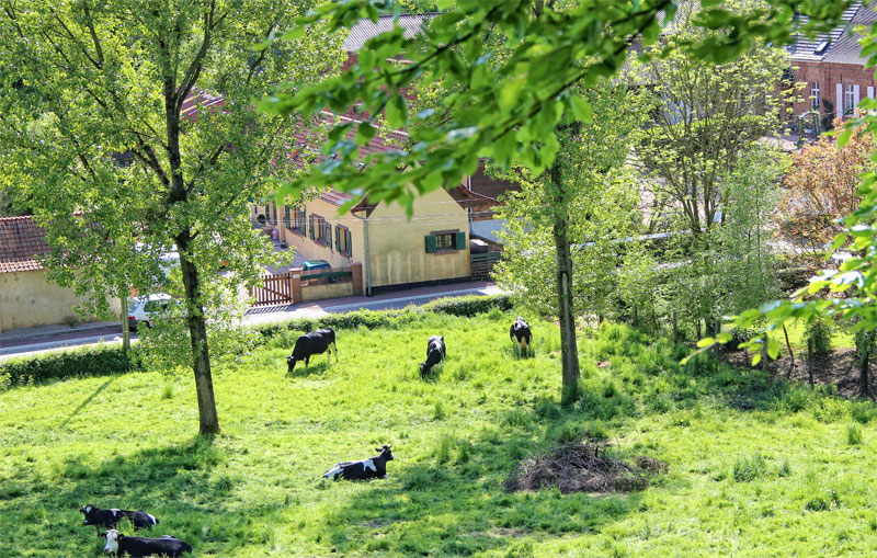 Grassy hill, peppered with trees, cows munching on the grass and lazing in the sun
