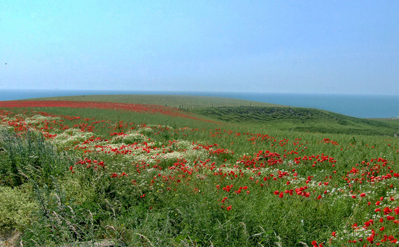 Poppies in a field in Hauts de France, overlooking the English Channel on a sunny day