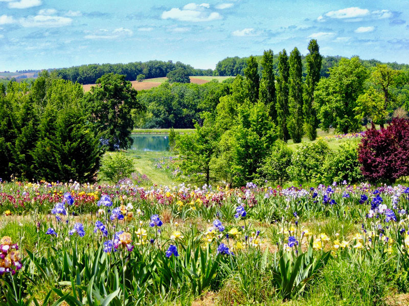 A field full of thousands of different coloured irises