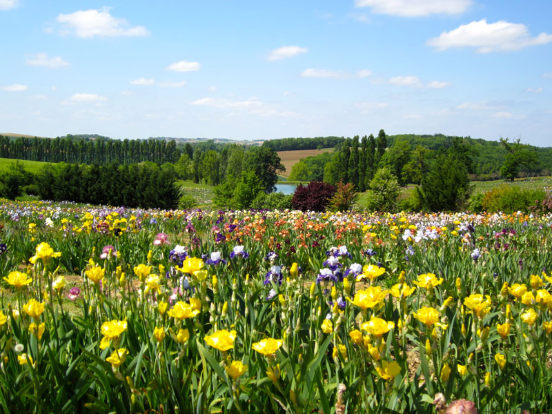 Every shade of the rainbow in a flowering iris in the Lot, France