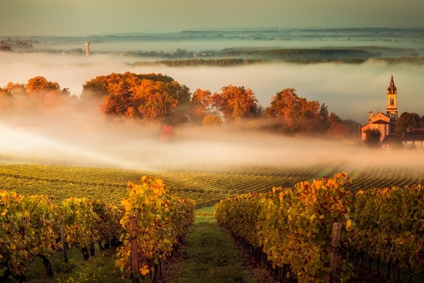A vineyard in Bordeaux, leaves of the vines all shades of autumnal gold, a mist hangs low, church steeple in the background