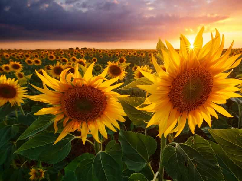 Sunflowers in a field at dusk with a beam of light making them light up as if made of gold