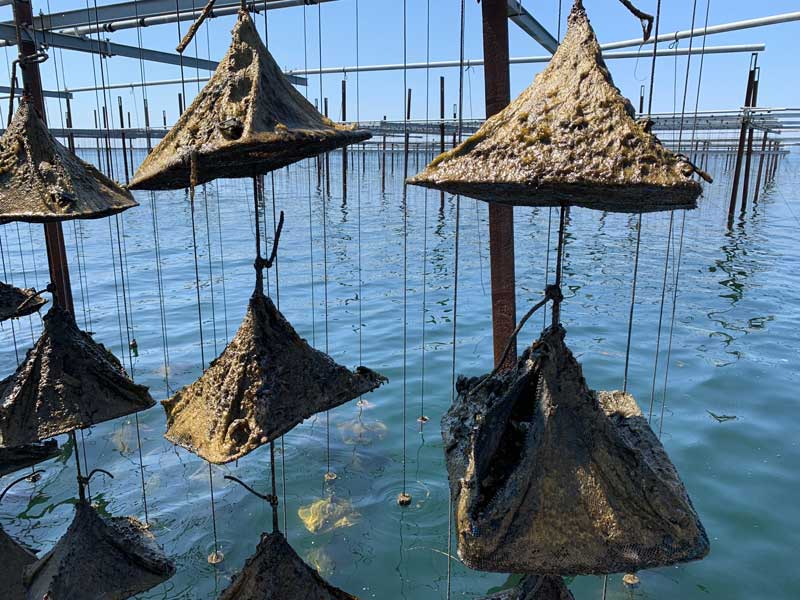 Baby oysters growing in an oyster nursery in textile pods on string in water
