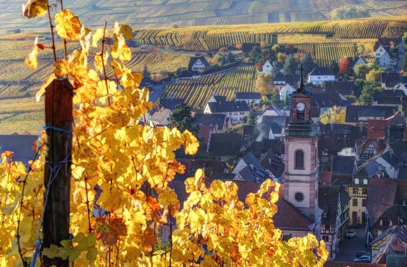 Autumnal vineyards in Riquewihr, Alsace, church and town in background