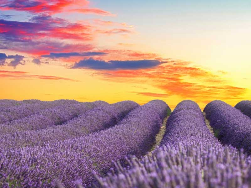Lavender fields in Provence just before dusk with the sky lit pink, red and gold