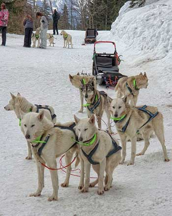 White huskies pulling a sled in the snow in Les Arcs