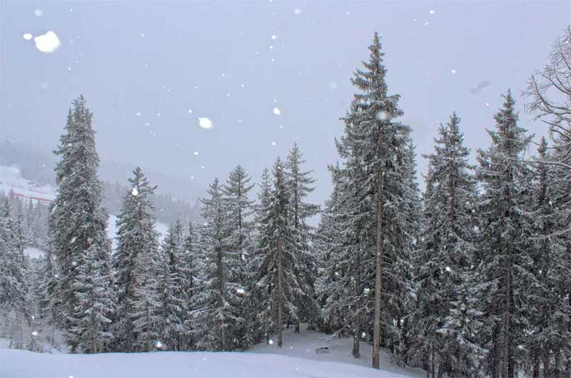 Snow falling on pine trees in the French Alps