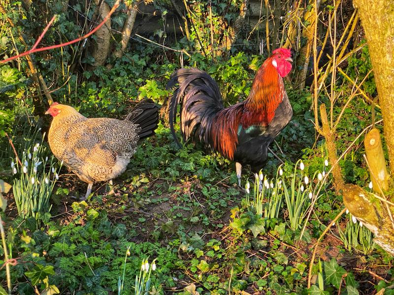 Chicken and cockerel in a garden full of snowdrops