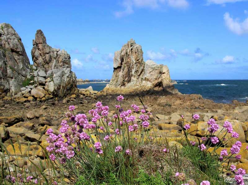 Wild flowers growing amongst rocks and boulders on the Pink Granite Coast of Brittany