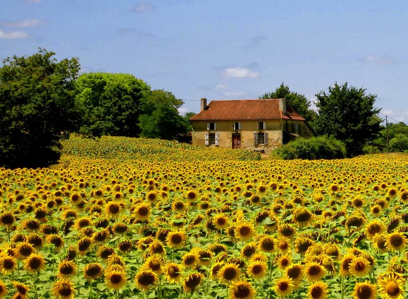 Field full of bright, blooming sunflowers, against a blue sky