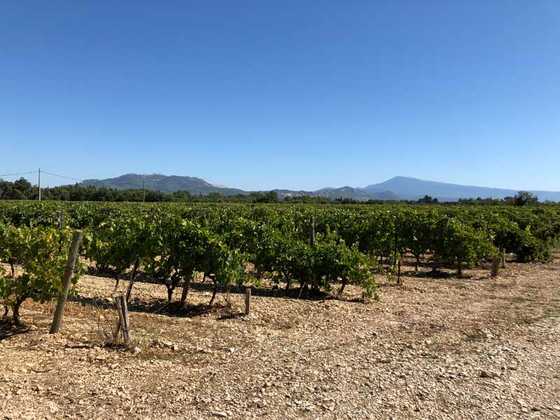 Vineyard in Provence under a clear blue sky on a summer day