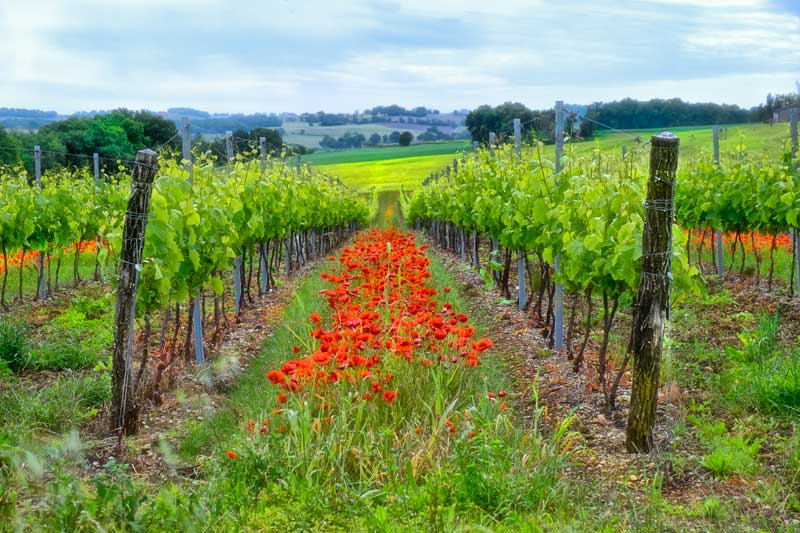 Vineyards with rows of blooming poppies in Gascony, France