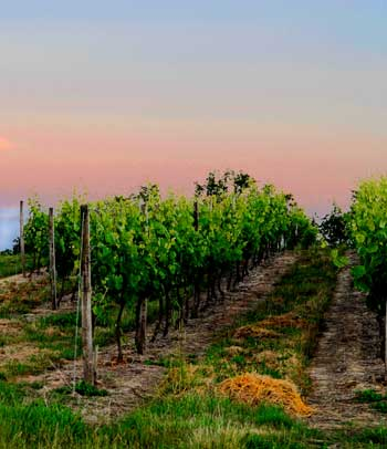Vineyard at dusk, vibrant, healthy vine leaves against a pink sky