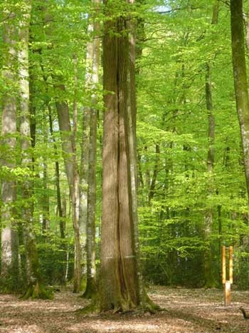 Rows of tall, leafy oak trees in a forest in the Loir Valley