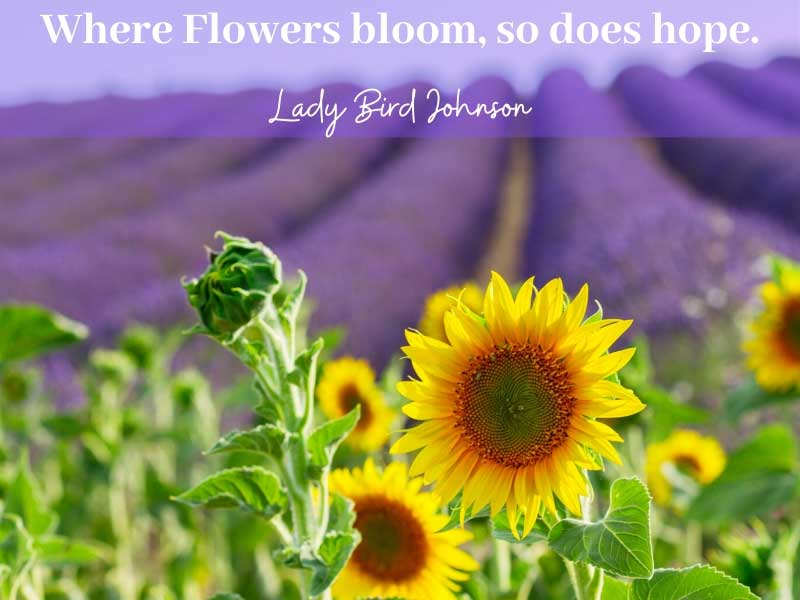 "Field of sunflowers and lavenders captioned Where flowers bloom, so does hope""..."