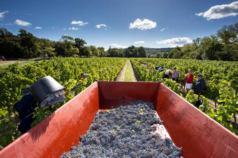 Grape pickers filling buckets with grapes in sunny vineyard in Herault, southern France