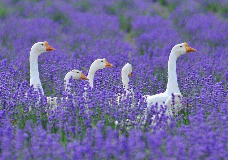 5 white geese in a field full of blooming lavender