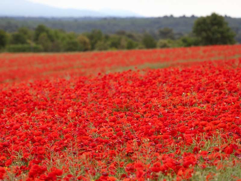 Field full of bright red poppies in Provence